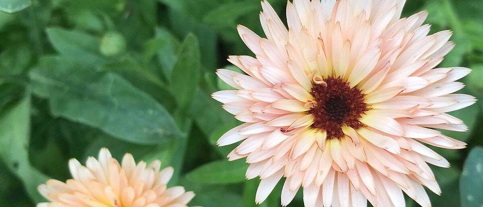 Körömvirág I Calendula Officinalis