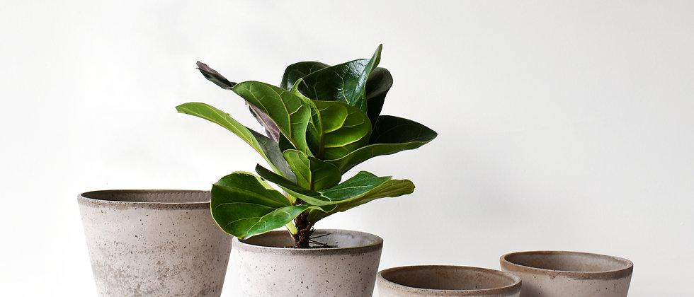 Ficus Lyrata Bambino I Lantlevelű Fikusz (kicsi)