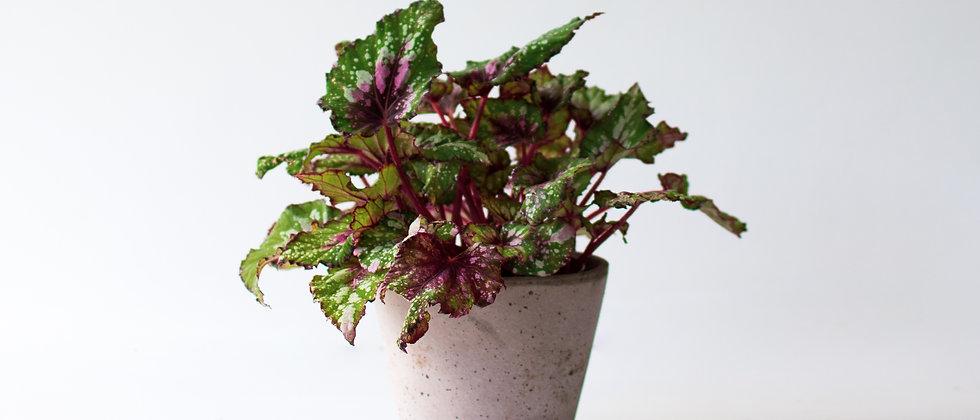 Begonia Rex I Királybegónia