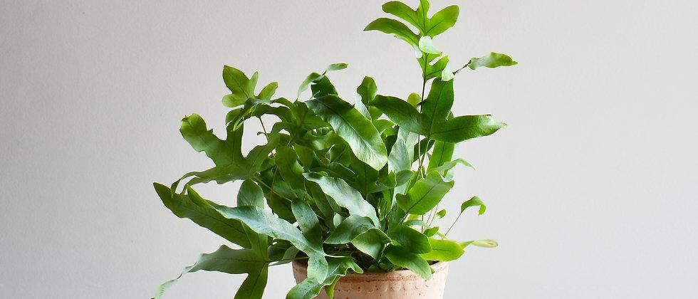 Phlebodium Aureum I Narancspöttyös Páfrány