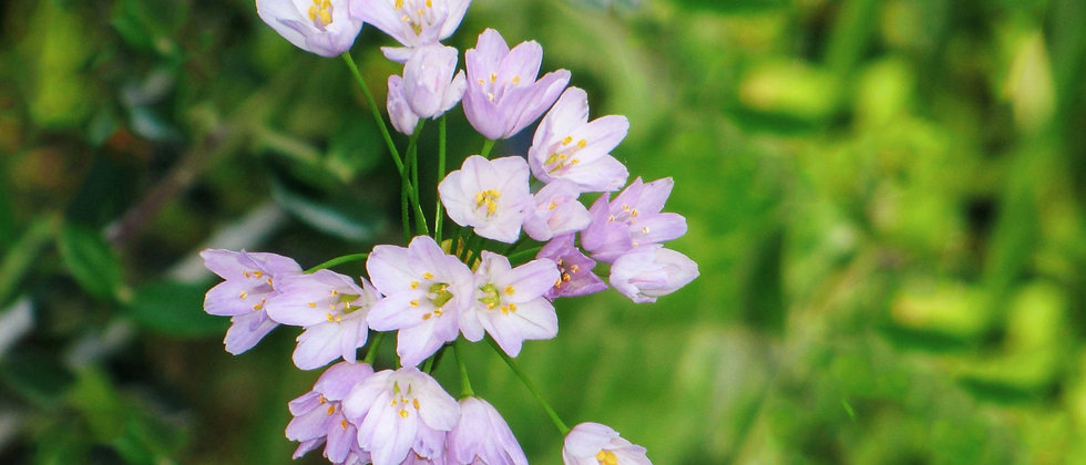 Allium Roseum - 10DB