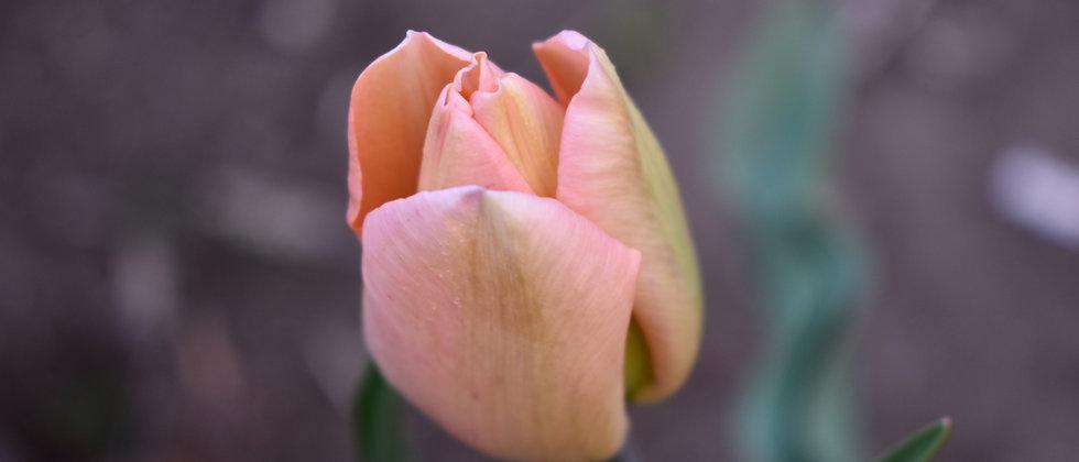 Apricot Beauty - 8DB