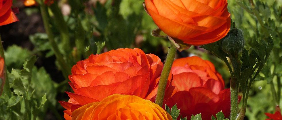 Ranunculus 'Aviv Orange' - 10DB