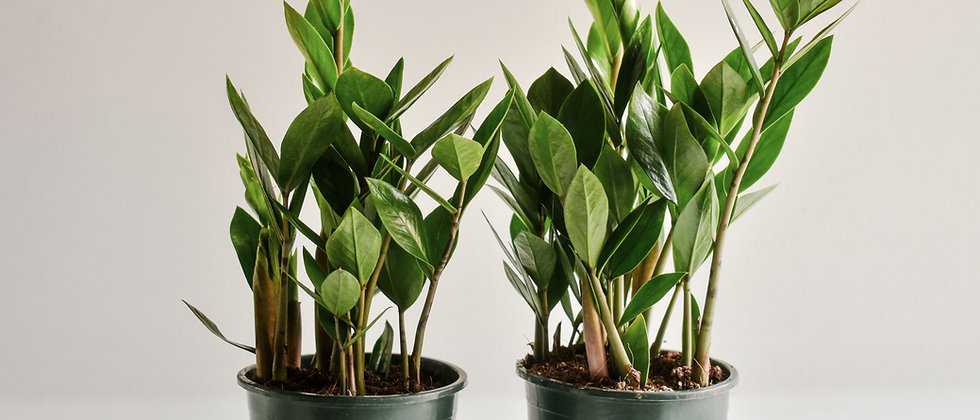 Zamioculcas Zamiifolia I Agglegénypálma