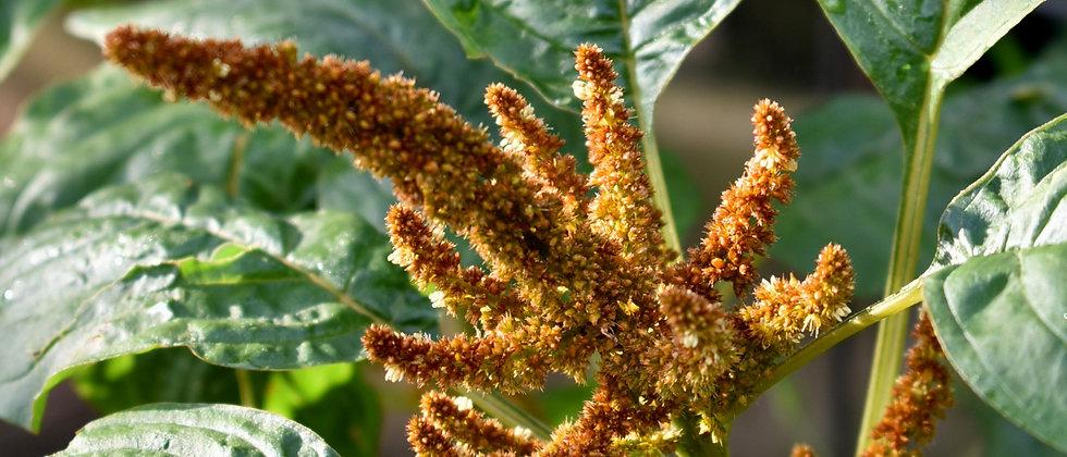 Amaránt I Amaranthus Cruentus 'Hot Biscuit'