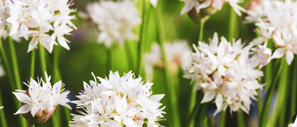 Allium Graceful Beauty - 8DB