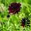 "Thumbnail: Ördögszem ""Black Knight"" I Scabiosa Atropurpurea"