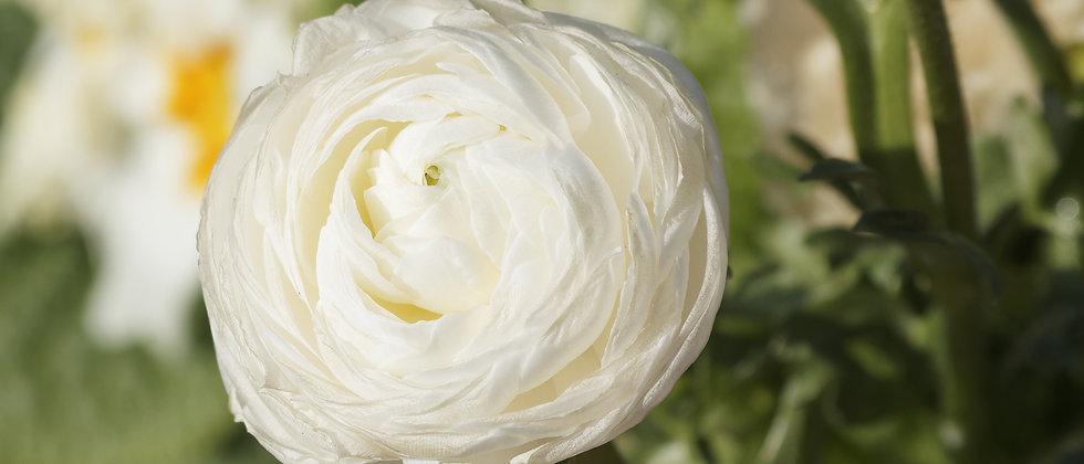 Ranunculus 'Aviv White' - 10DB