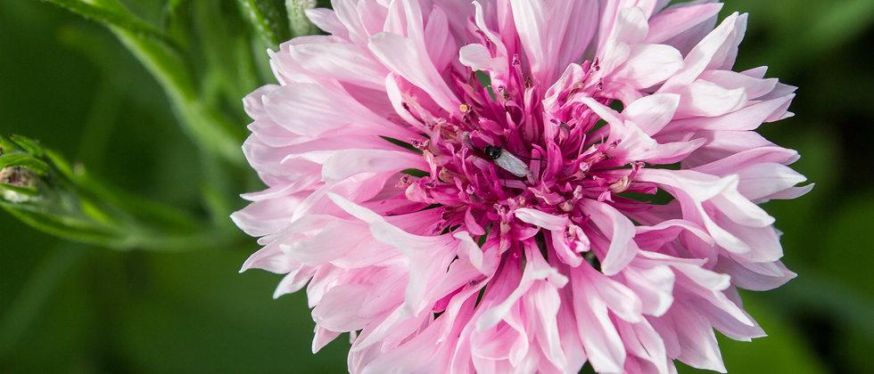 Búzavirág Mix I Centaurea Cyanus