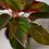 Thumbnail: Rákvirág I Aglaonema Crete