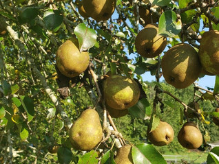 In the Garden: Planting Fruit Trees