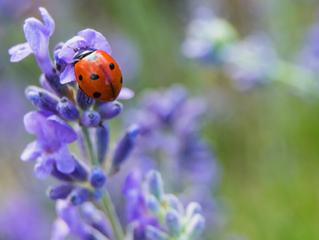 In the Garden: Attracting Good Bugs