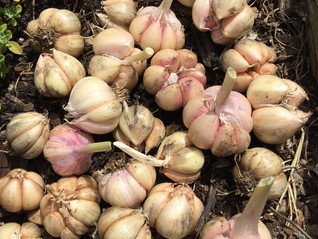 In the Garden: Planting Garlic