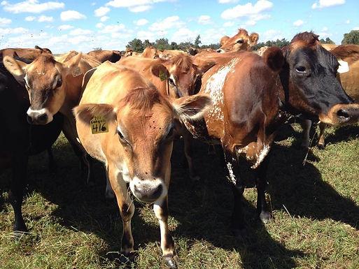 Organic Dairy and Forage Walk
