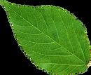 kisspng-nissan-leaf-rose-clip-art-green-