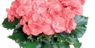 Dragone Dusty Rose