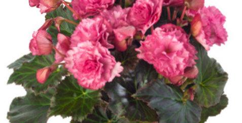 Frivola Pink