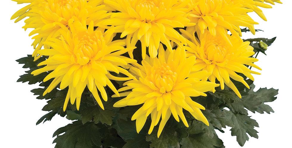 Durango Yellow