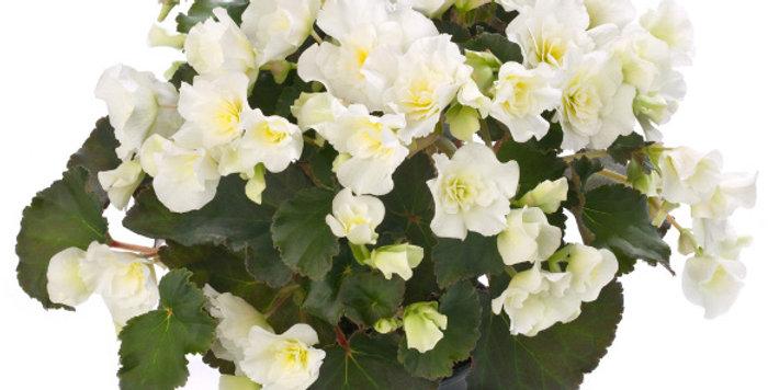 Glory White