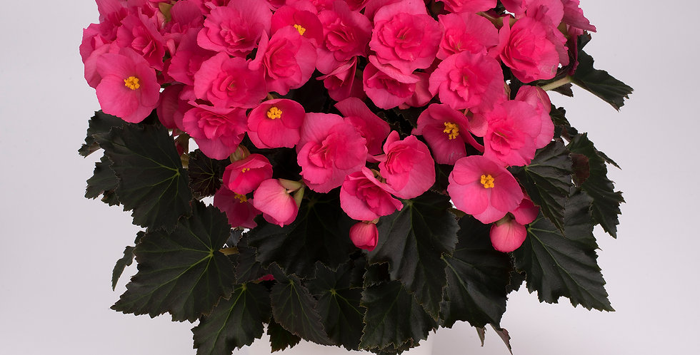 Adonia Pink