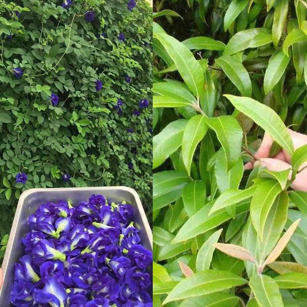 Lemon Myrtle   Butterfly Blue Pea Flower   MY BLUE TEA