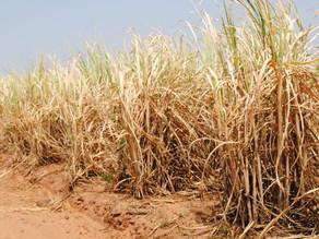 Seca compromete produção canavieira no estado