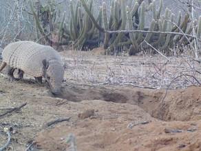 Pernambuco: Em busca de água na seca, animais selvagens se aproximam de cidades