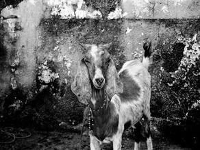Exposição Labirinto de Cabras e o Touro de Mármore chega a Triunfo