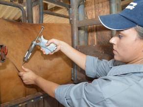 Prazo para vacinação contra febre aftosa termina hoje em Pernambuco