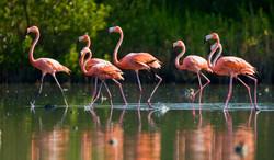 Caribbean flamingo1