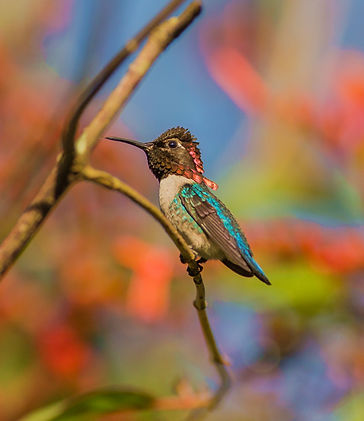 Bee Hummingbird.jpg