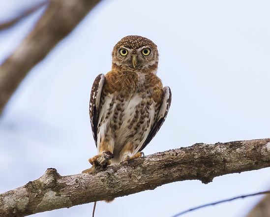 Cuban pygmy owl.jpg