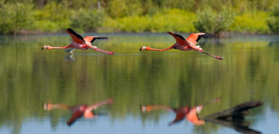 Caribbean Flamingos .jpg