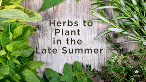 Herbs to Plant in the Late Summer