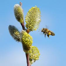images of bee on pussywillow.jpg