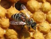 A bee with Varroa mites