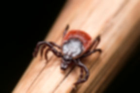 Close up photo of adult female deer tick