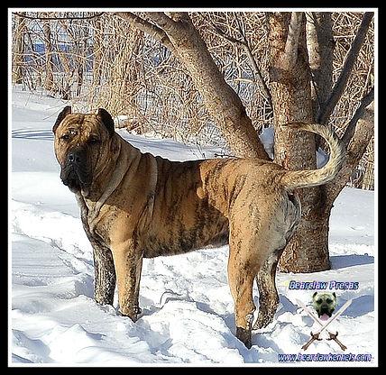 Bearclaw Kennels Presa Canarios