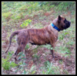 Bearclaw Kennels Presa Canario dog breeders