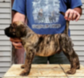 bearclaw kennels presa canario puppy.jpg