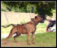 Bearclaw Kennels male Presa Canarios Han