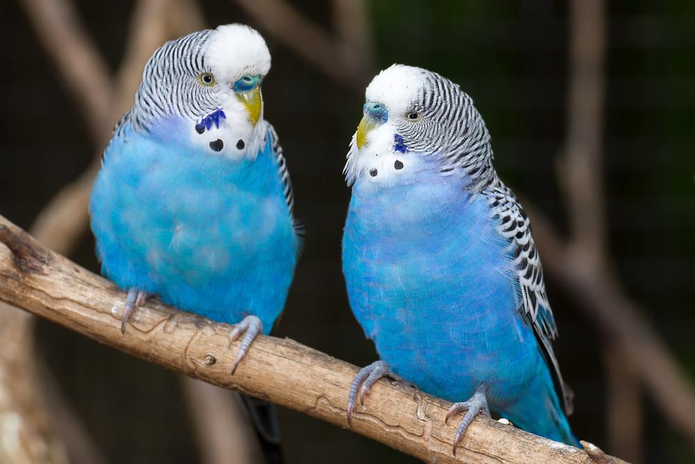 Peaceful Meadows, Pet, Bird, Parakeets