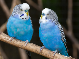 Parakeets With Personality