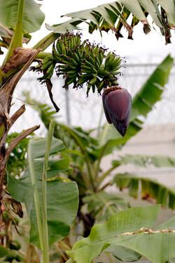 First banana blossom