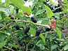 mulberries_on tree.jpg