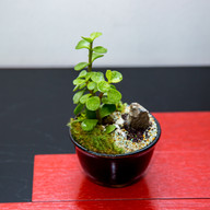 Charity Mini Bonsai