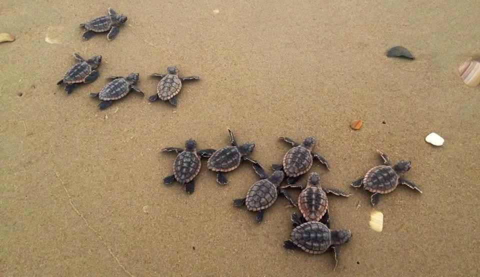 turtle nesting.jpg