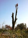 tree-felling 013.jpg