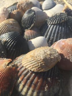 Sea shells on Assateague