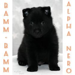 Bamm-Bamm Alpha Nero